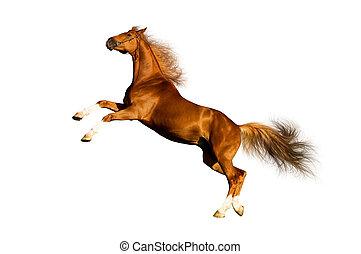 kastanje, paarde, vrijstaand, white.