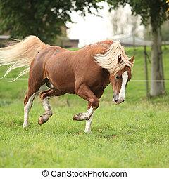 kastanje, welsh, pony, met, blond haar, rennende , op, pasturage