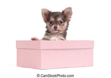 kasten,  Chihuahua, junger Hund