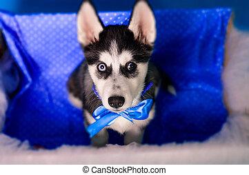 kasten, heiser, junger Hund