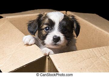 kasten, Karton,  papillon, junger Hund