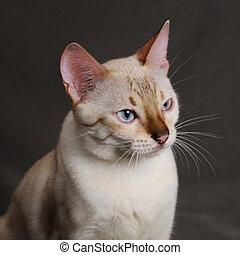 kat, hoofd, bengalen