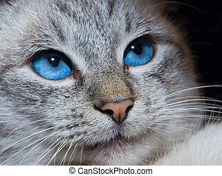 kat, met, diep, blauwe ogen
