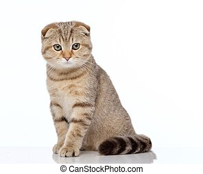 kat, schots, vouw
