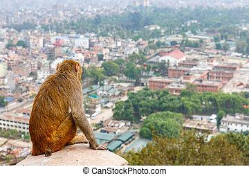 kathmandu, cityscape, y, rhesus, mono