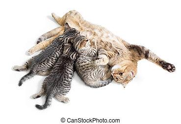 katjes, piekeren, het voeden, door, vrolijke , moeder, kat, vrijstaand, op wit, achtergrond