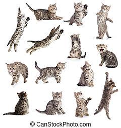 katte, eller, kittens, isoleret, samling