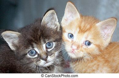 katter, två