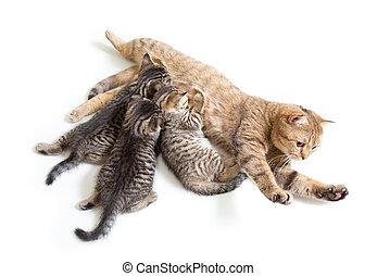 kattungar, kull, matning, av, mor, katt, isolerat