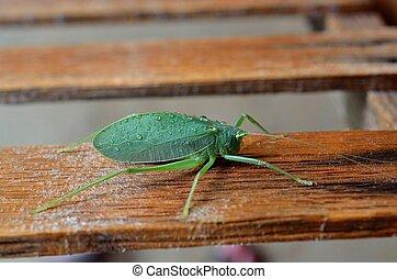 Katydid bush cricket