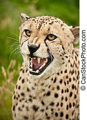 katz, acinonyx, gepard, groß, jubatus