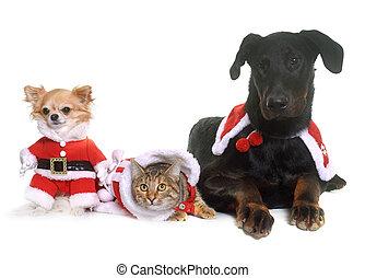 katz, hunden, und, weihnachten