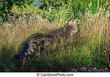 katz, jagen, in, der, großes gras