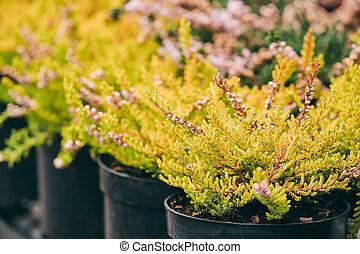 kaufmannsladen, calluna, pflanze, busch, markt, topf