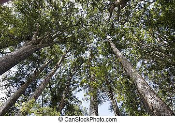 Kauri Puketi Forest, NZ