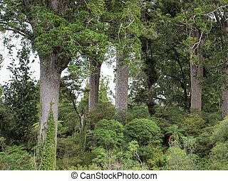 Kauri Trees on coromandel peninsula