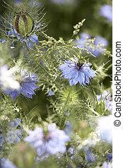 kavels, nigella, bloemen, damascena
