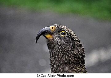 Kea bird on road in New Zealand