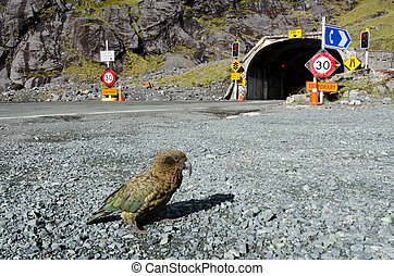 Kea - New Zealand wildlife NZ NZL - FIORDLAND, NZ - JAN 14:...