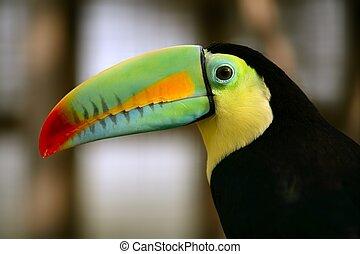 kee, billed, tucano, pássaro, coloridos