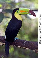 kee, billed, tukan, ramphastos sulfuratus, bunte, tucan, vogel, in, zoo