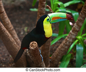 kee, toucan, billed