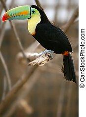 kee, tucán, billed, colorido, pájaro