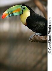 kee, tucano, billed, coloridos, pássaro