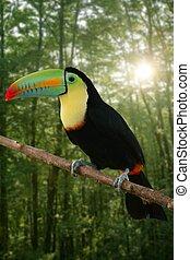 kee, tukan, billed, färgrik, fågel