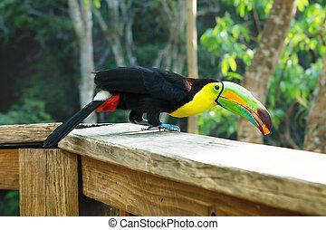 keel-billed, fugl, bjerg, toucan, springe, honduras, macaw, ...