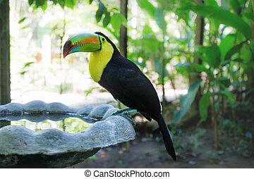 keel-billed, pulje, fugl, bjerg, toucan, honduras, macaw, ...