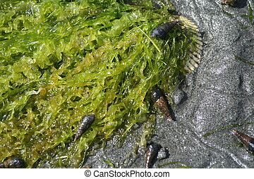 kelp and snail