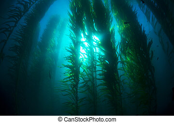 Kelp bed - Beautiful underwater kelp forest in clear water ...