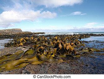 Kelp covered coast, rocks, sea - New Zealand coast covered...