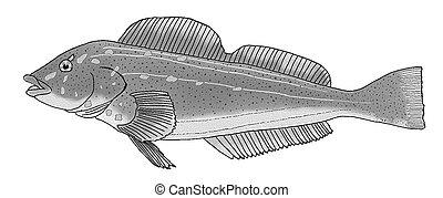Kelp Greenling Hexagrammos decagrammus Pen-and-Ink Drawing