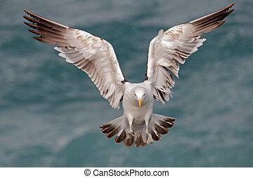 Kelp gull 07 - A kelp gull in flight