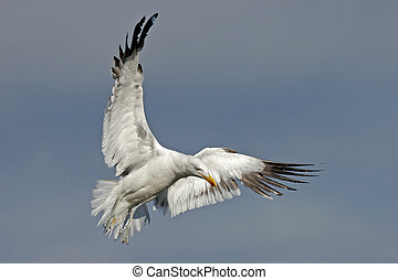 Kelp gull - A kelp gull in flight