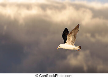 Kelp Gull in flight