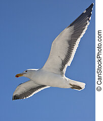 Kelp Gull (Larus dominicanus) - Namibia - A Kelp Gull (Larus...