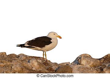 Kelp gull, Larus dominicanus, single bird on ground, South...