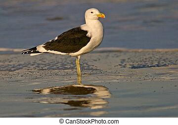 Kelp gull on beach, South Africa