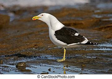Kelp gull on coastal rocks, South Africa