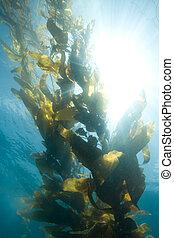 Kelp - Giant Sea Kelp in the sun