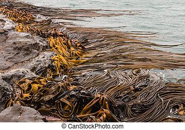 kelp seaweed on rocks  - detail of kelp seaweed on rocks