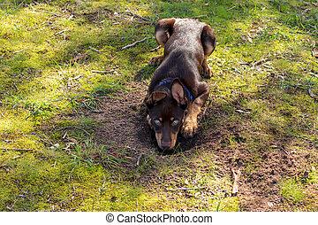 Kelpie puppy digging a hole