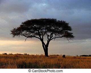 kenia, akacjowe drzewo, afrykanin