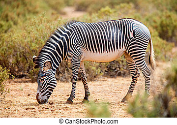 kenia, grevy's, zebra, samburu