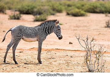 kenia, grevys, zebra, samburu