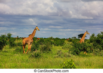 kenia, masai, afrikanisch, mara, giraffen