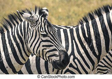 kenia, national, park., afrikas, zebra